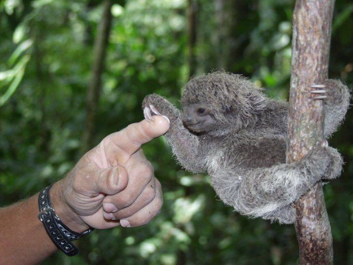 K Bell Sloth 3 Toed Sloth | Baby Sl...