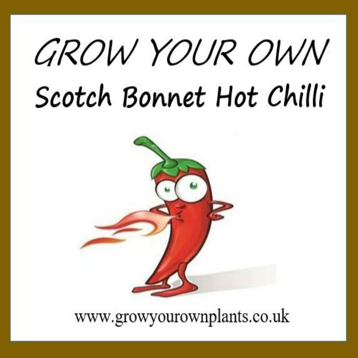 Each plant kit contains all you need to grow your own Scotch Bonnet Hot Chilli plant kit from seed