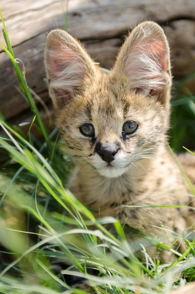 96 best savannah cats images on pinterest big cats kitty cats and serval cub by jenna woodward gumiabroncs Gallery