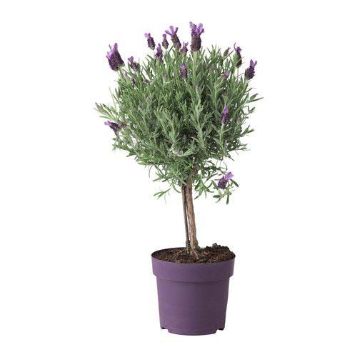IKEA LAVANDULA potted plant