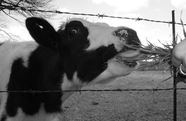 Feeders anonymous #cow #blackandwhite #photography