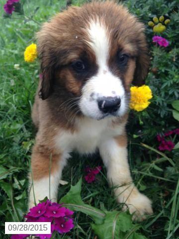 Bernese Mt. Dog/St. Bernard Mix Puppy for Sale in Ohio