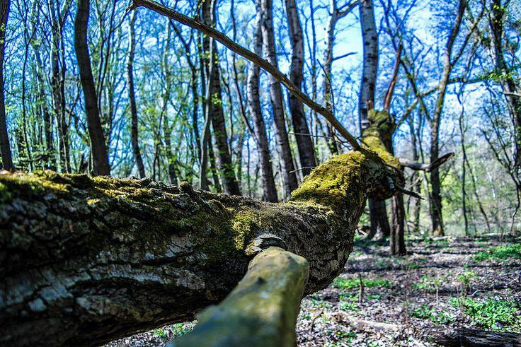 Zöld álca Long-erdő természetvédelmi terület,Sárospatak környékén...