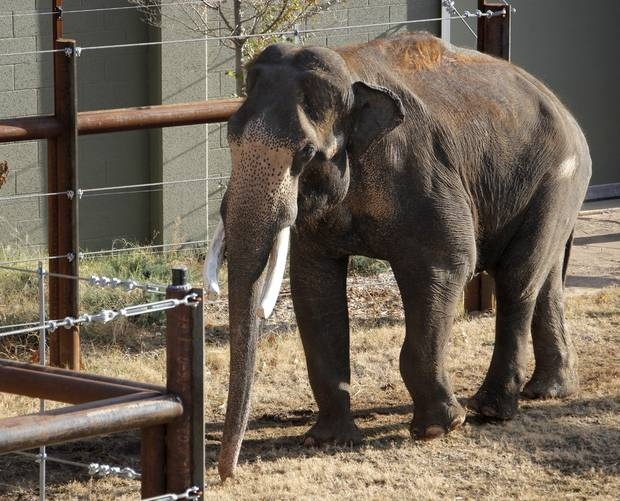 Rex, the new male Asian elephant at the Oklahoma City Zoo, spends time outside while in quarantine at the Zoo's elephant habitat in Oklahoma City, Thursday, Dec. 15, 2011. Rex arrived Tuesday afternoon from the African Lion Safari in Cambridge, Ontario. Photo by Nate Billings, The Oklahoman