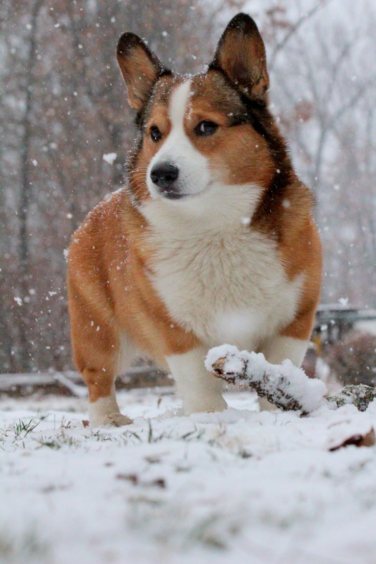 Winter Corgi - British Country Clothing offer a range of quality British made clothing ideal for country pursuits: Corgi Disorder, Awesome Corgi, Corgis 1 1 1, Welsh Corgis, Wild Pets, Adorable, Corgis ️ ️ ️, Corgis Gotta, Animal