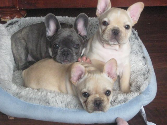 There is nothing sweeter than Frenchie faces!