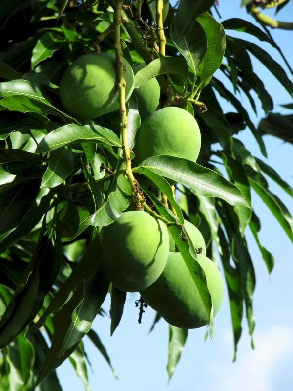 The Philippine Indian Mangoes