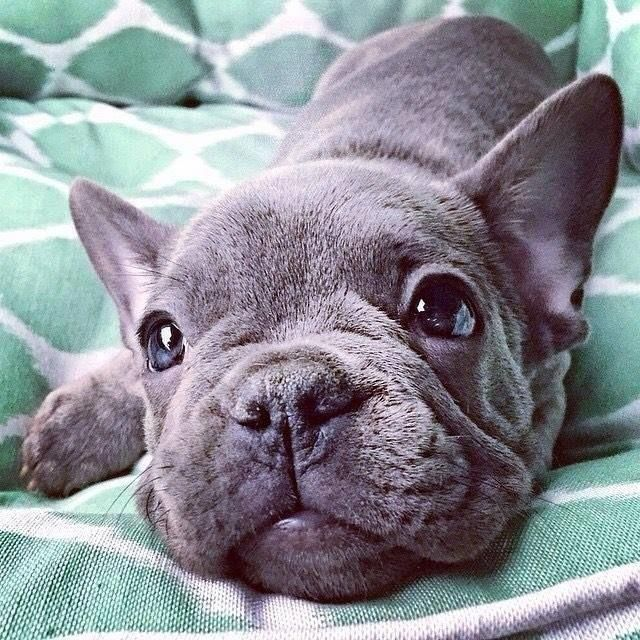 Explore Our Internet Site For Even More Relevant Information On Bulldogs It Is Ac Blue French Bulldog Puppies French Bulldog Puppies Bulldog Puppies