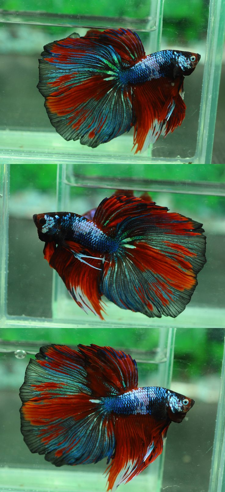 1038 Best Bonkers For Bettas Images On Pinterest Betta