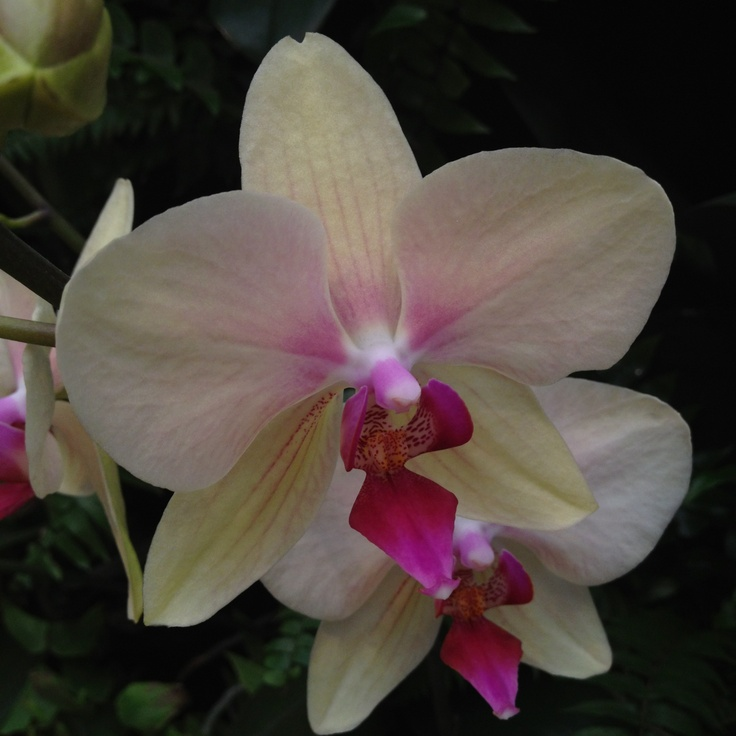 Colombian orchid