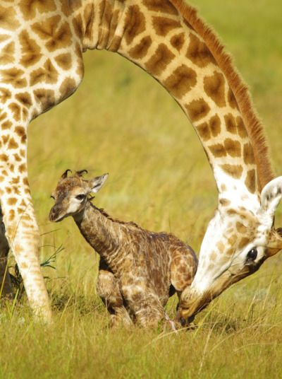 A giraffe calf tries to take its first steps helped by its mother within minutes of being born in Kragga Kamma Game Park in Port Elizabeth, South Africa