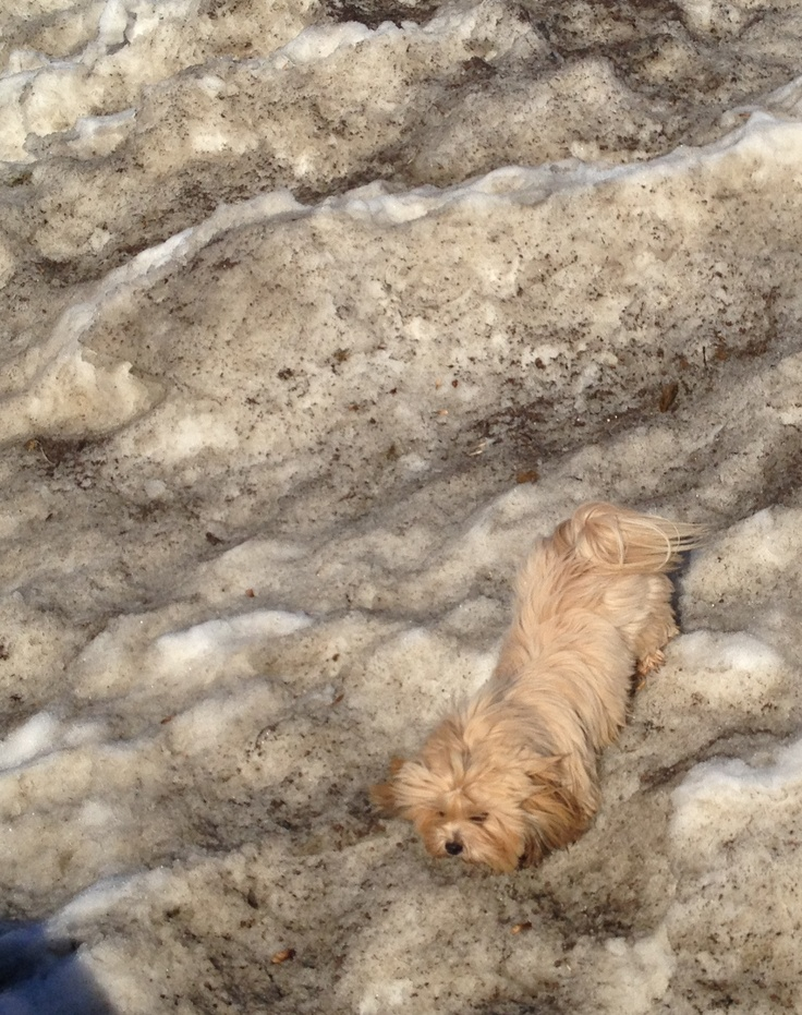 a Lhasa apso (tibetan dog) sure can climb - here descending an icy slope