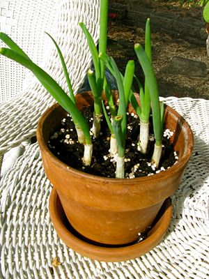 Replant Green Onions (so gonna do this)