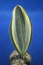 V4. Sansevieria masoniana white variegated - Awesome white -