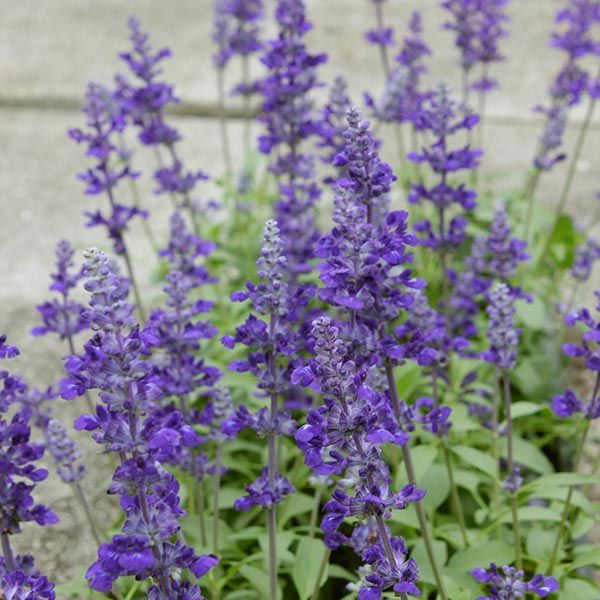 Lavender Is A Lovely Garden Addition To Try This May