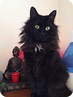 Somerville, MA - Domestic Longhair. Meet Nisha a Cat for Adoption.