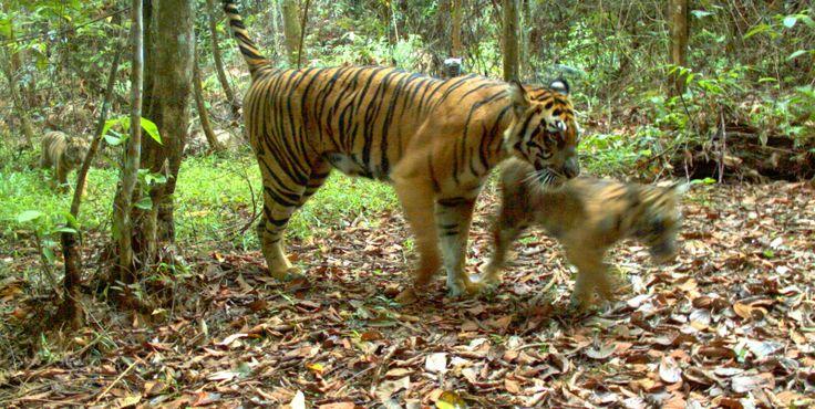 Tiger Cubs on Camera Trap