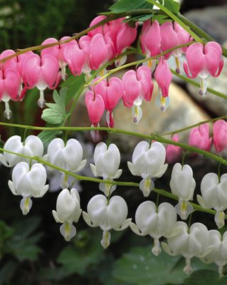 Bleeding Heart. i have the pink bleeding heart. it was planted by my great grandma!!!! it never fails to return year after year. its a sweet beauty :) Renee