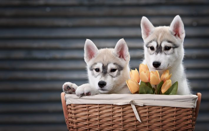 Download wallpapers Husky, puppies, small dogs, cute animals, basket with dogs, orange tulips