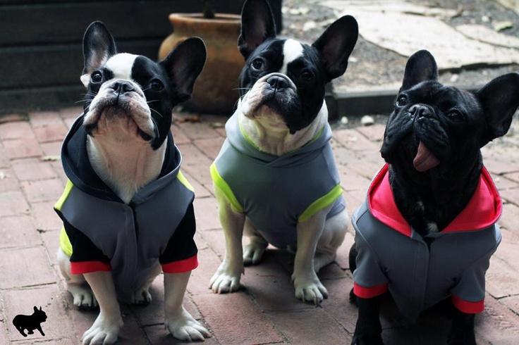 Bubba Frankee French bulldog, Pets, Boston terrier