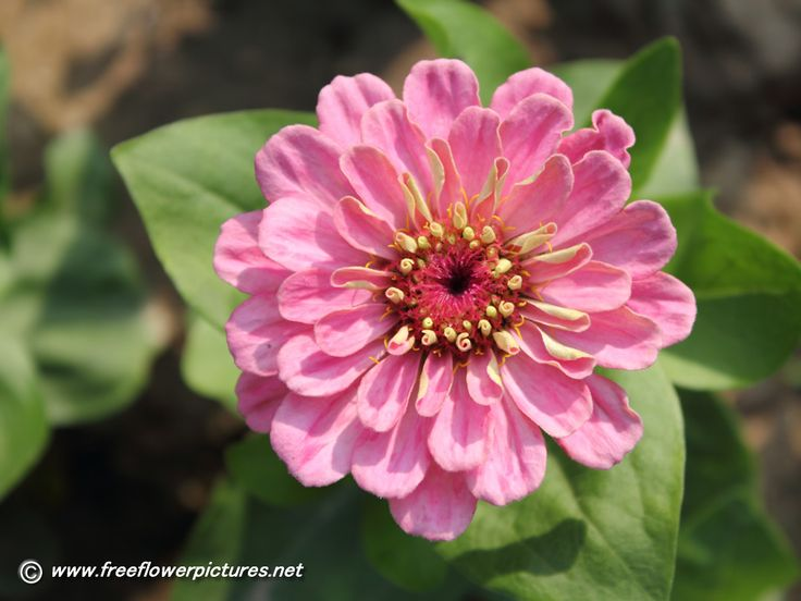 Zinnia | Zinnia pictures,Zinnia flower pictures
