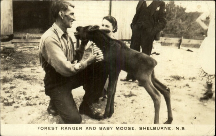 Shelburne NS Forest Ranger & Baby Moose Real Photo Post...