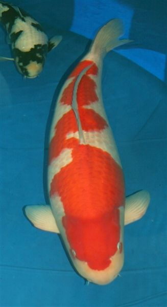 Reserve grand champ northwest koi and goldfish club 2014 for Koi und goldfisch