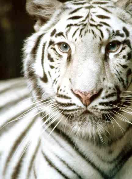 zlatá mramorovaná fotografie mládě Bengálský tygr: Bílý tygr bengálský bílá-tiger.jpg