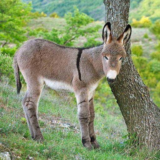 Provence Donkey