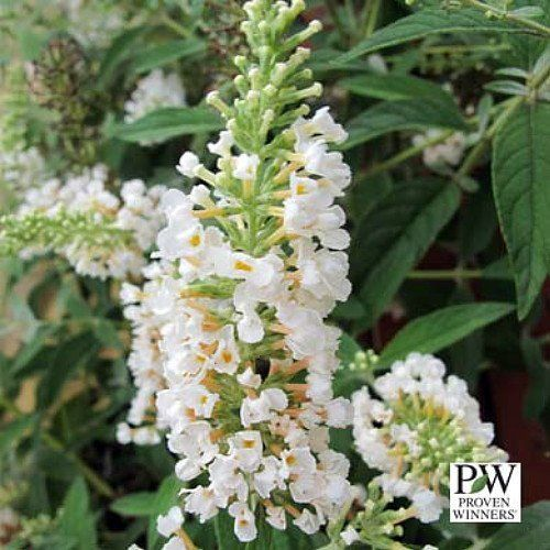 17 best images about buddleja on sun shrubs and buddleja alternifolia