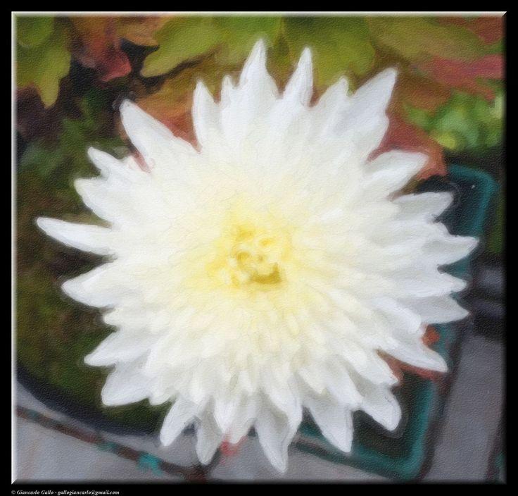 White chrysanthemum by Giancarlo Gallo