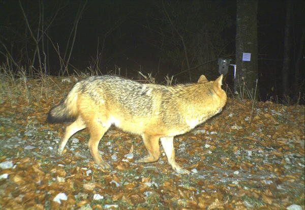 Es handelt sich um die erste Sichtung eines solchen Tiers in der Zentralschweiz.