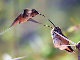 En küçük göçmen kuş olarak bilinen sinekkuşları, yaklaşık 3,2 gr ağırlığındadır. Her yıl 6.000 km'den fazla yol kateden sinekkuşlarının, bu yolu katedebilmek için güçlerini çok akılcı kullanmaları gerekmektedir.