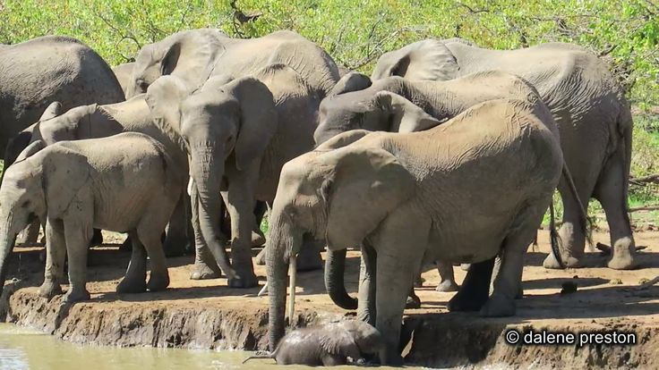 WATCH Baby Ellie Tumbles Into Water Hole at Kruger National Park