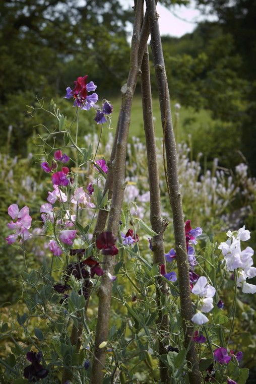 Sweet peas on a hazel frame at Allt-y-bela Photo: Britt Willoughby Dyer