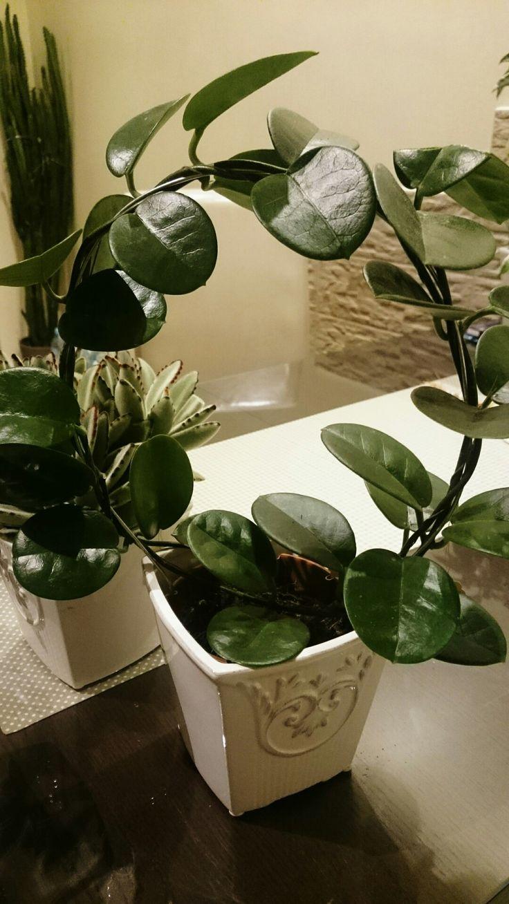 Hoya australis.