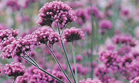 Plant of the week: Verbena 'Lollipop'