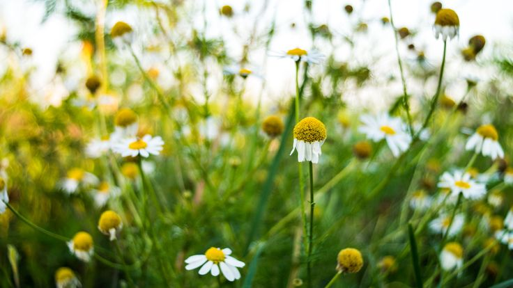 Chamomile - A small batch of chamomile flowers.