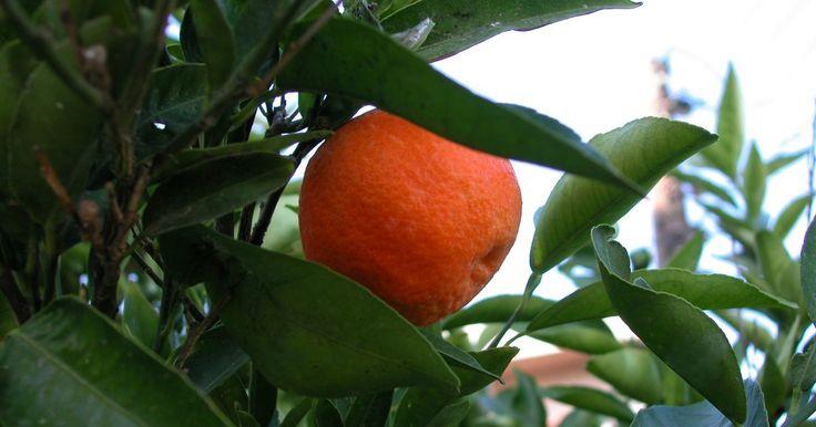 Tipos de árvores Clementina. Os frutos da Clementina são laranjas em miniatura disponíveis nos supermercados em todo o mundo. Esses pequenos frutos crescem em árvores Clementina cultivadas por cultivadores comerciais e jardineiros em todo o mundo. Existem diversos tipos de árvores Clementina para se escolher.