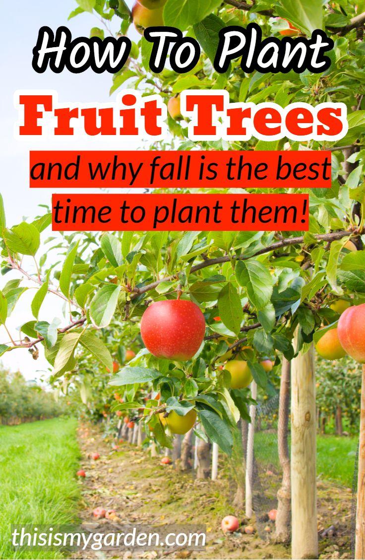 How To Plant Fruit Trees Cherry Fruit Tree Growing Fruit Trees Dwarf Fruit Trees