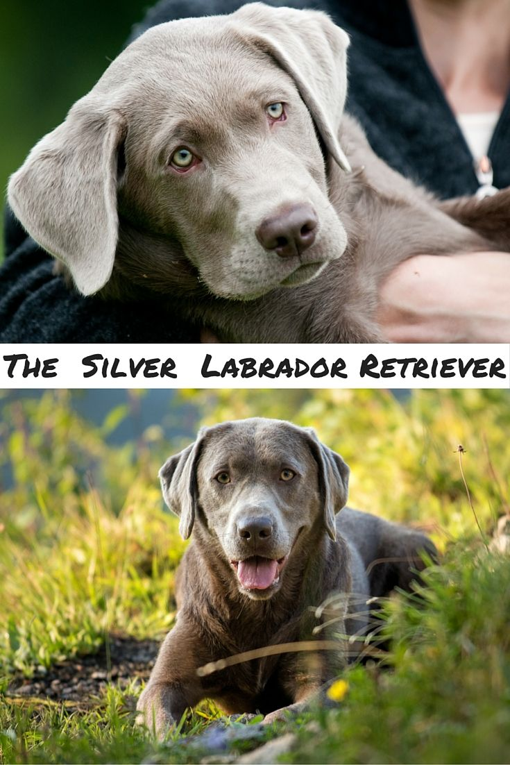 The truth about your silver Lab, where silver Labs come from, how to buy a healthy silver Labrador Retriever puppy, and why people can't stop fighting over them