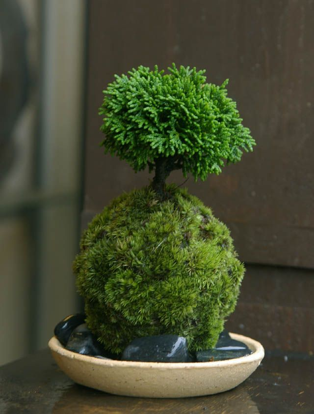 cypress kokedama | houseplants