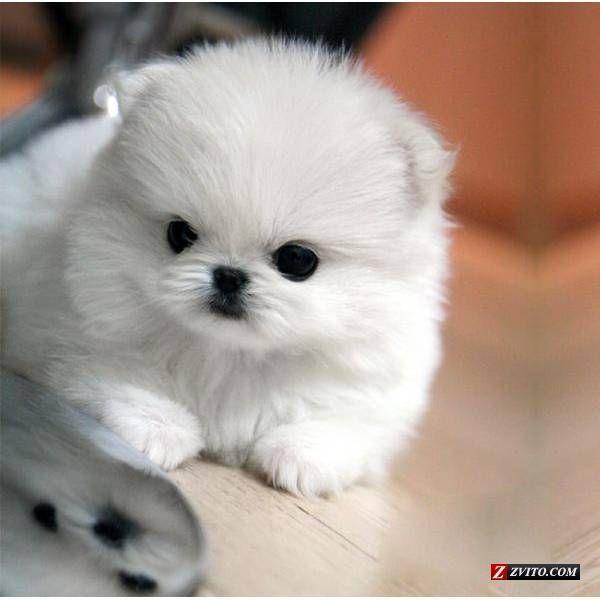 teacup white pomeranian puppies for sale | Zoe Fans Blog