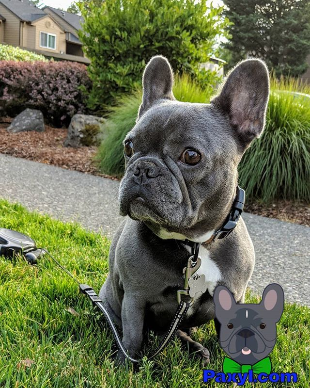 Happy Monday Frenchie Frenchbulldogsofinstagram Frenchbulldog