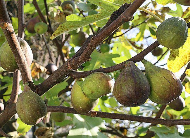 Tailler le figuier au verger : de la régulation de production de figues à la taille de la branche principale après fructification.