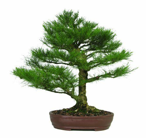 "Brussel's Casuarina Equisetifolia Specimen Bonsai, Age: 30 Yrs; Height - 31-Inch, ST7038C-B by Brussel's Bonsai. $1265.00. Very light airy foliage. Age: 30 Yrs; Height - 31-inch. Compact branching on a mature trunk. Nice oval unglazed container. Casuarina equisetifolia. This Casuarina Equisetifolia is commonly known as ""Australian Pine"". The foliage is very thin and airy and contrast well against the light colored bark."