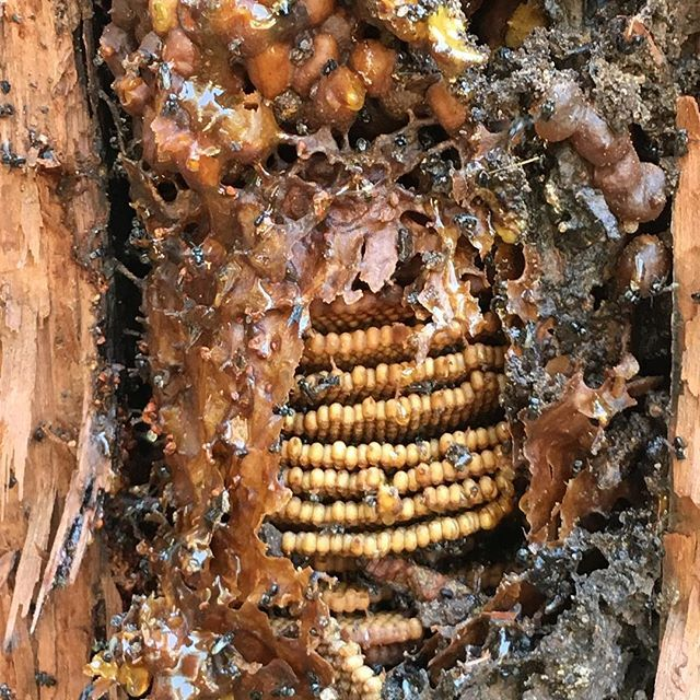 Pancakes in a tree 😂#carbonara #tetragonulacarbonaria #stinglessbees #sydney #sydneystinglessbees #brood #nativebees #stingless #bees