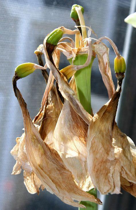 Amaryllis Nach Der Blüte Im Sommer Pflegen