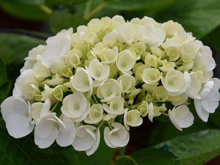 Hortensia blanc original, amélioration de la variété Hydrangea macrophylla Libelle