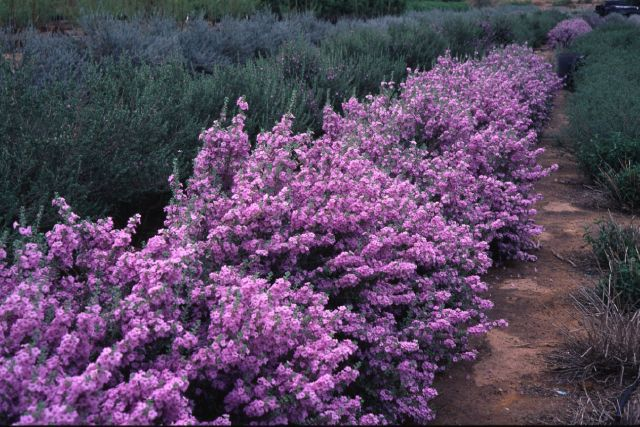Texas sage- just bought some of these plants for the front...here's hoping I don't kill them..